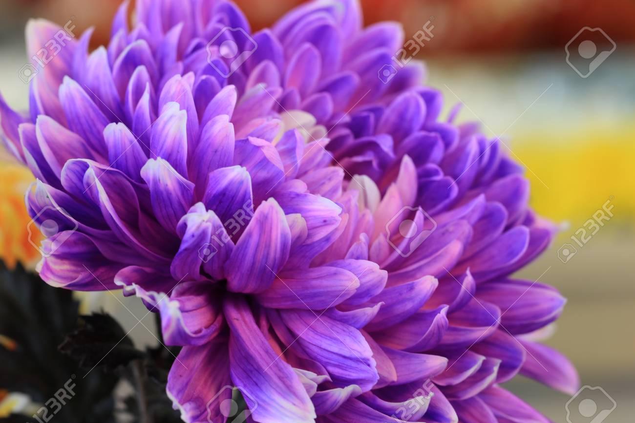 Chrysanthemum Flower Closeup Of Purple Chrysanthemum Flower In