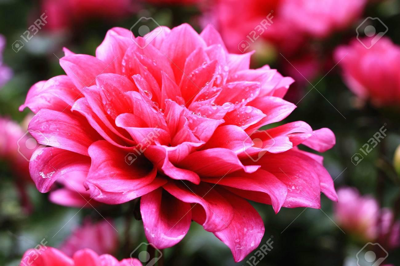fleurs de dahlia et goutte d'eau, gros plan de fleur rouge dahlia
