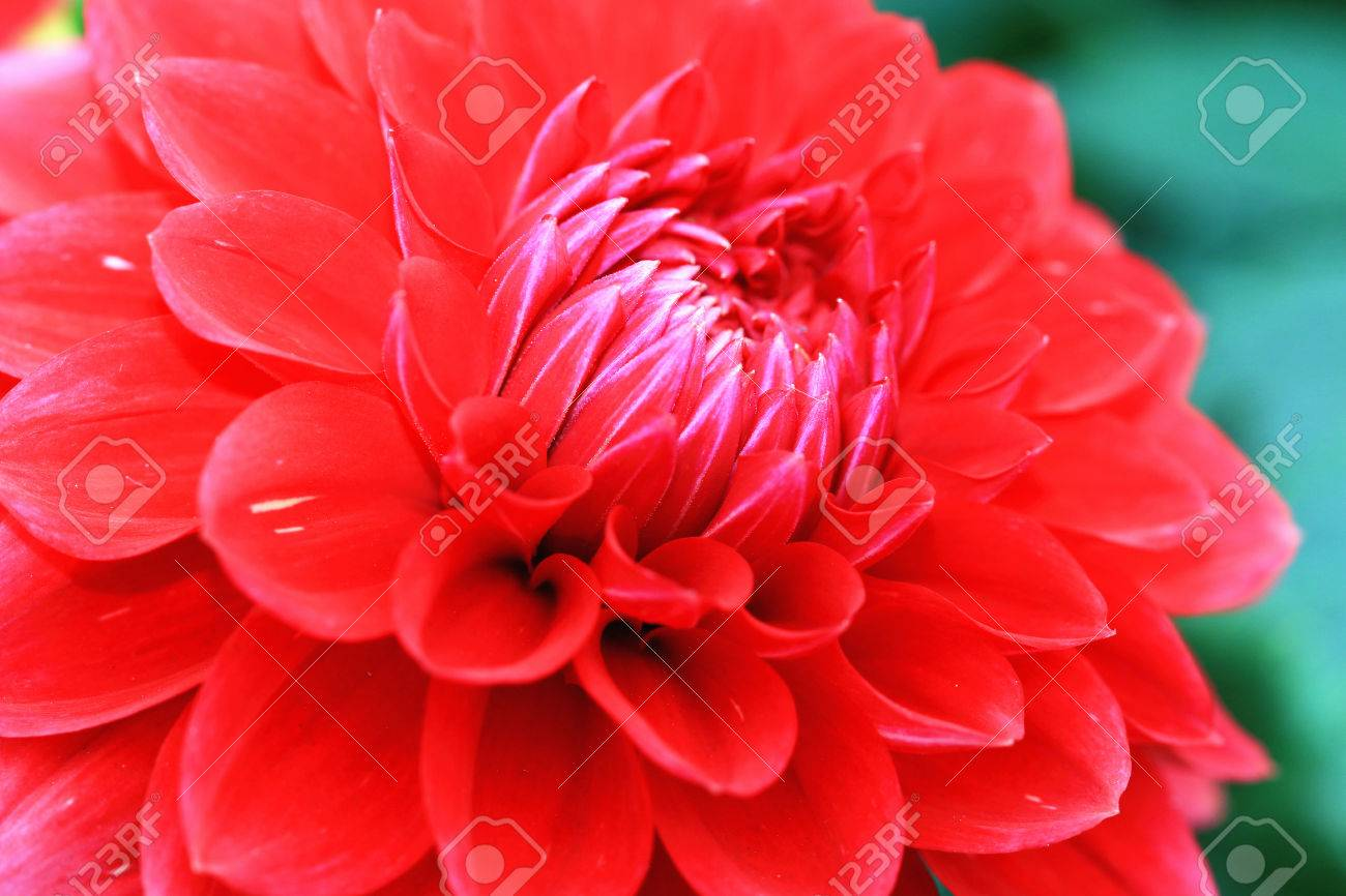 Dahlia Flowercloseup Of Red Dahlia Flower In Full Bloom In Stock