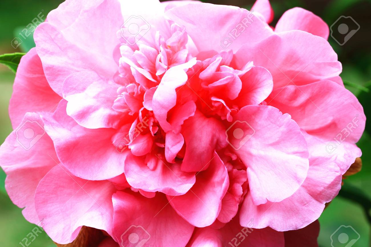 Camellia Flowercloseup Of Pink Camellia Flower In Full Bloom Stock