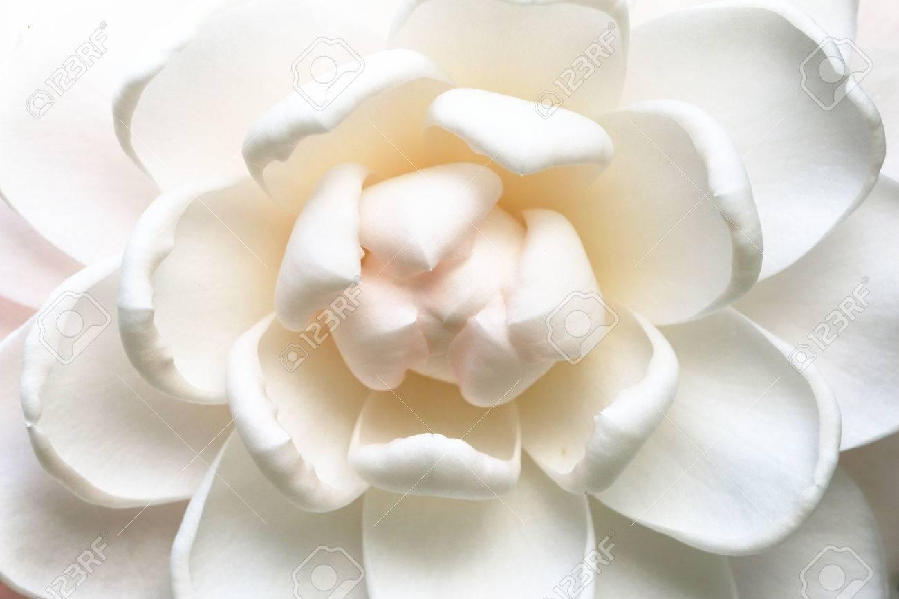 Camellia flowercloseup of white camellia flower in full bloom camellia flowercloseup of white camellia flower in full bloom in the garden stock photo mightylinksfo