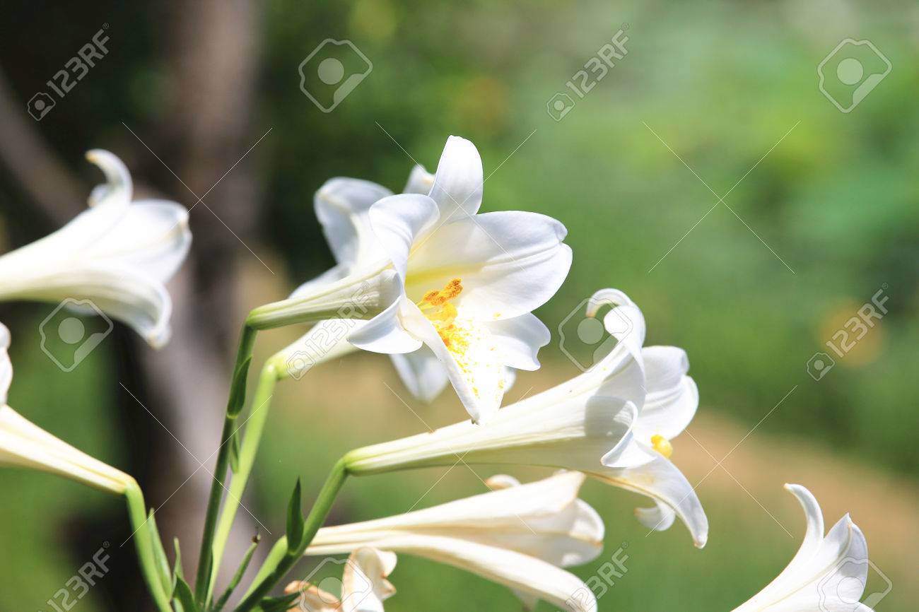 Easter Lilylongflower Lilybeautiful White Lily Flowers Blooming