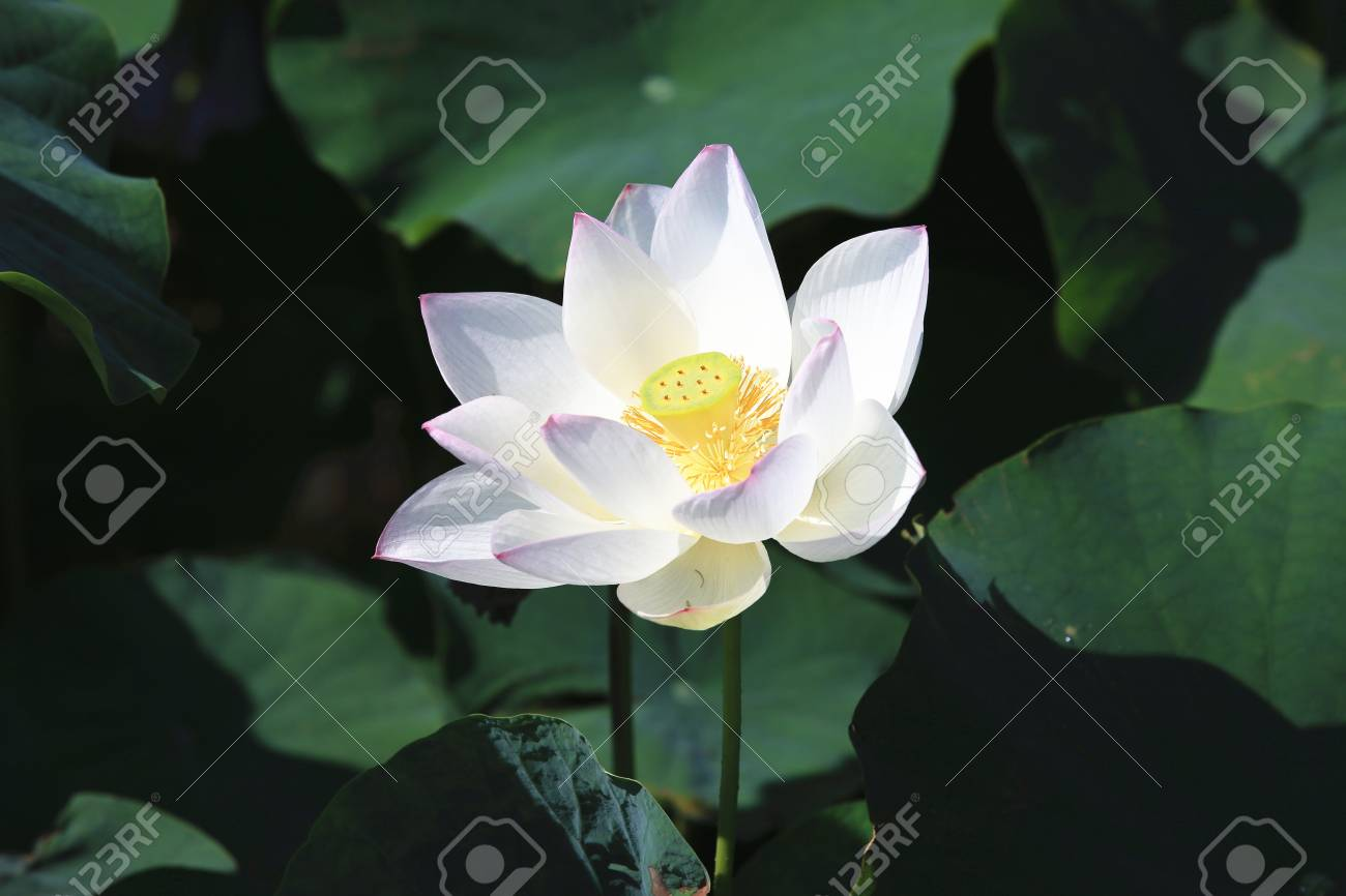 Lotus Flower A Beautiful White Flower Blooming In The Pond In