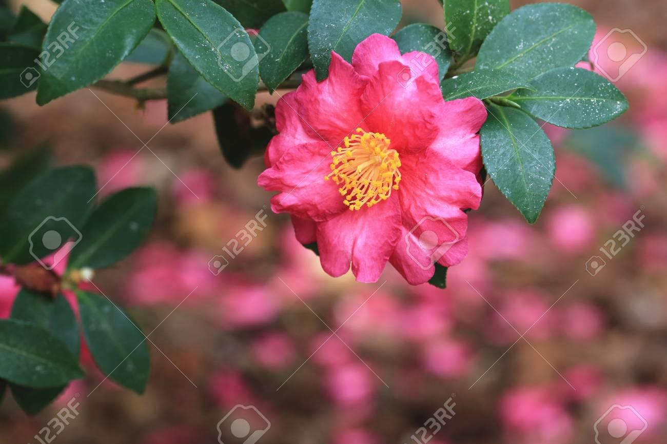 Fleur Rouge De Camelia Belle Fleur Rouge Qui Fleurit Dans Le Jardin