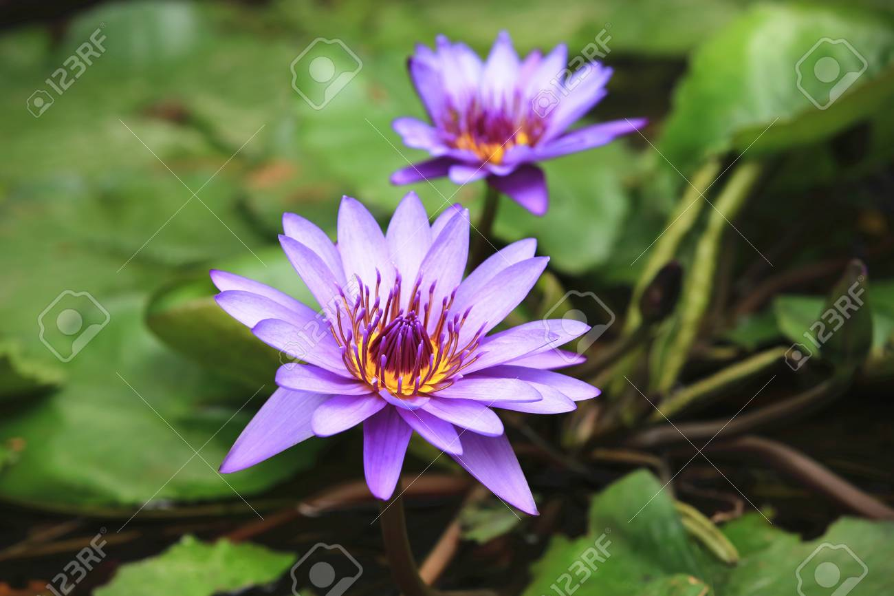 Water lily flowers and green leaves beautiful purple flowers stock photo water lily flowers and green leaves beautiful purple flowers blooming in the pond in autumn closeup izmirmasajfo
