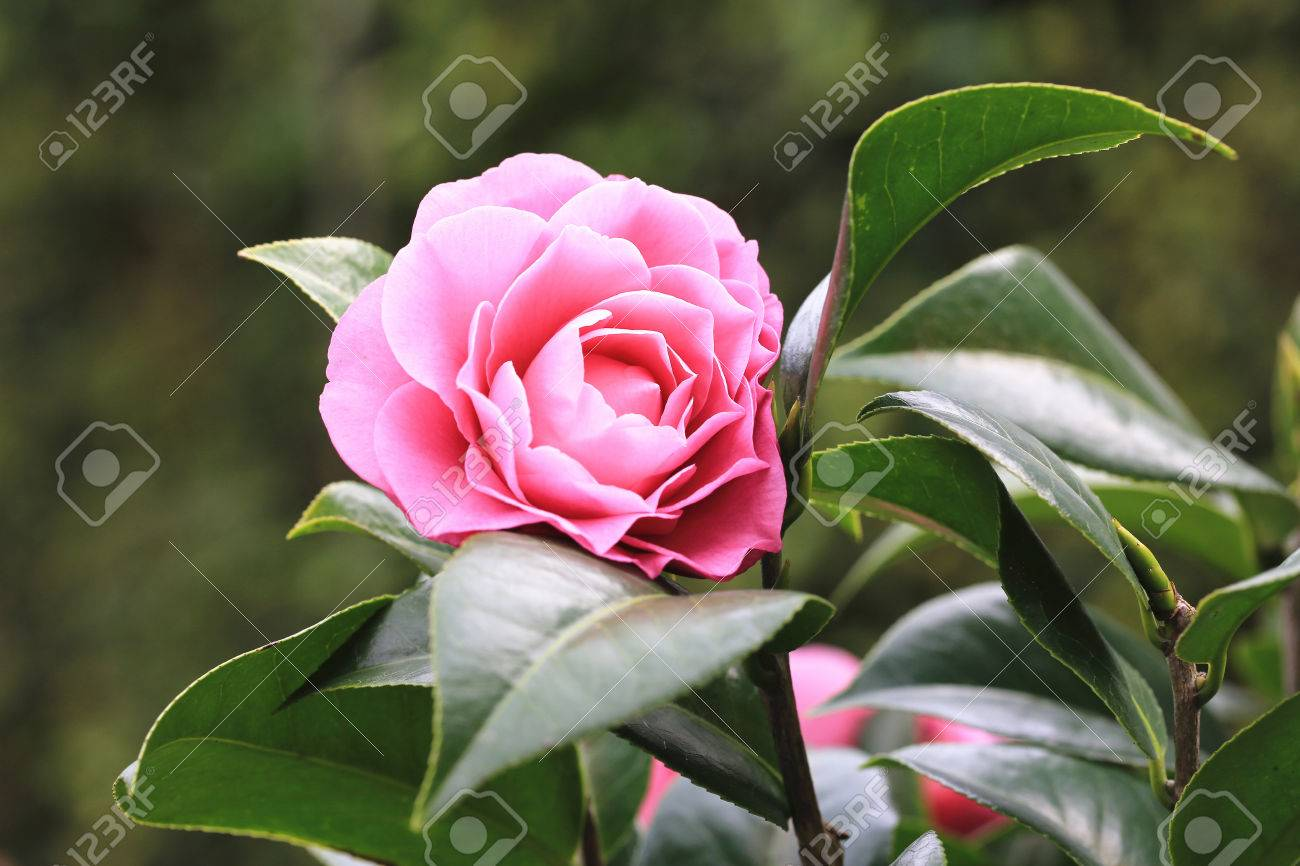 Pink Camellia Flowers Beautiful Pink Flowers Blooming In The