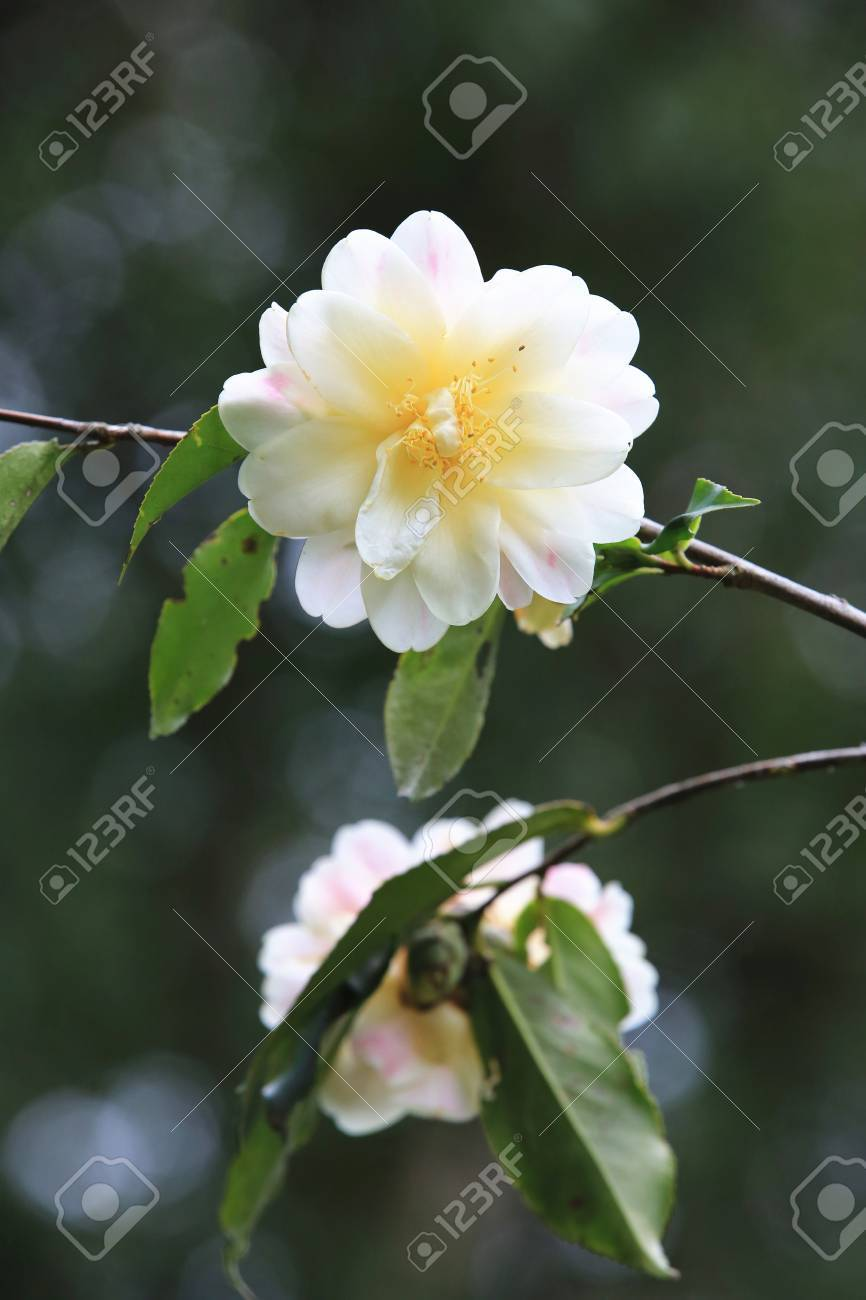 White camellia flowers beautiful white flowers blooming in the stock photo white camellia flowers beautiful white flowers blooming in the garden in spring mightylinksfo