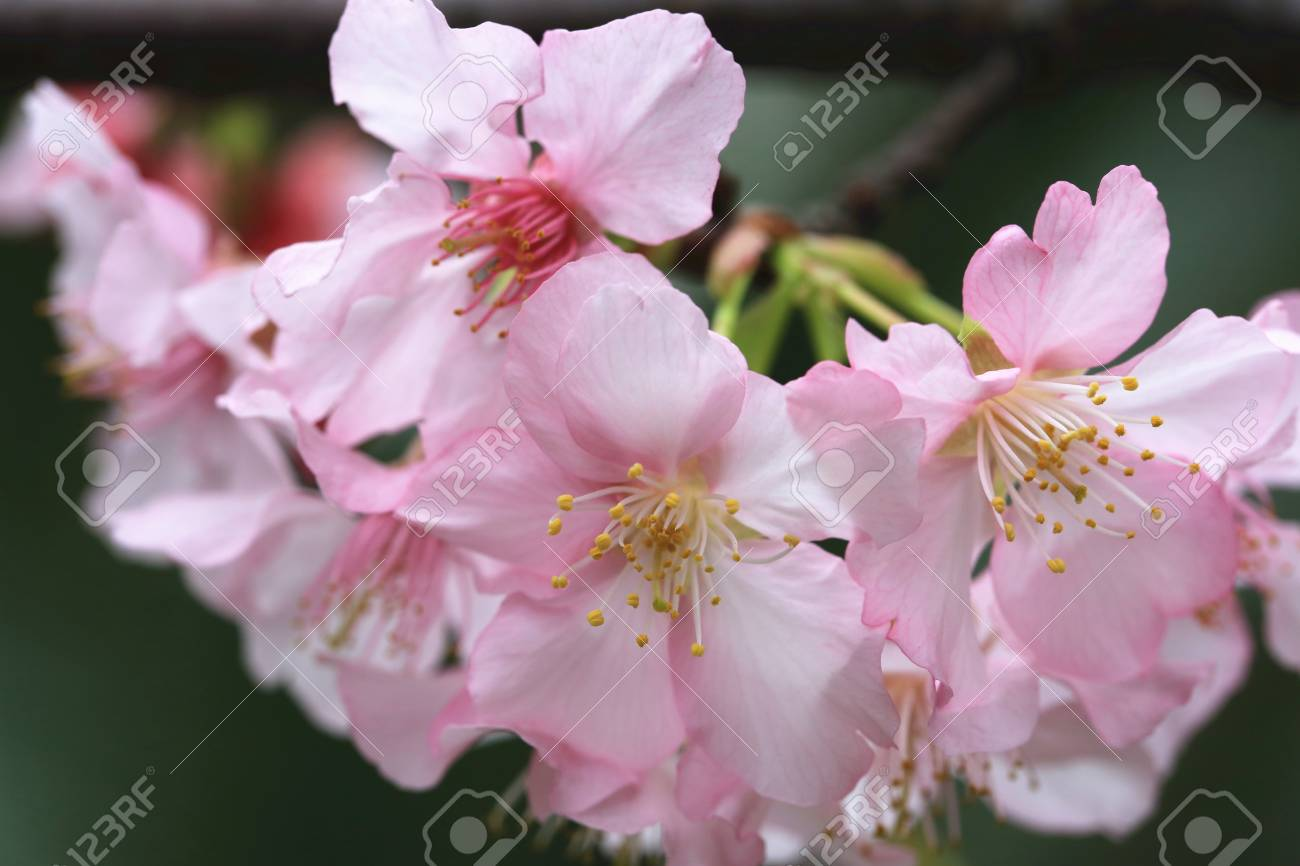 Pink With White Cherry Blossoms Closeup Beautiful Pink Flowers