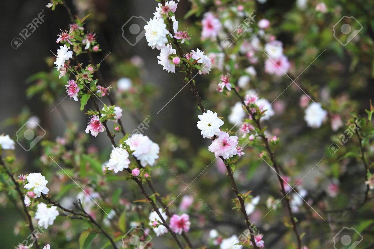 Dwarf Flowering Cherry Dwarf Flowering Almond Beautiful White