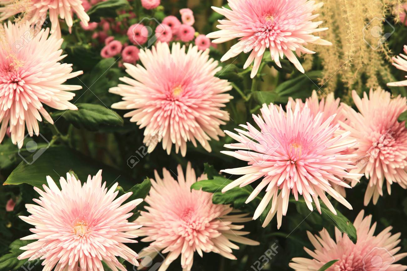 Chrysanthemum flowers beautiful pink with purple flowers blooming chrysanthemum flowers beautiful pink with purple flowers blooming in the garden in autumn stock photo izmirmasajfo