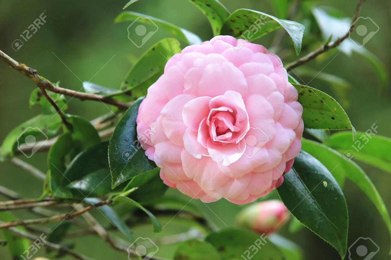 Pink Camellia Flower Closeup Beautiful Pink Flower In Full Bloom