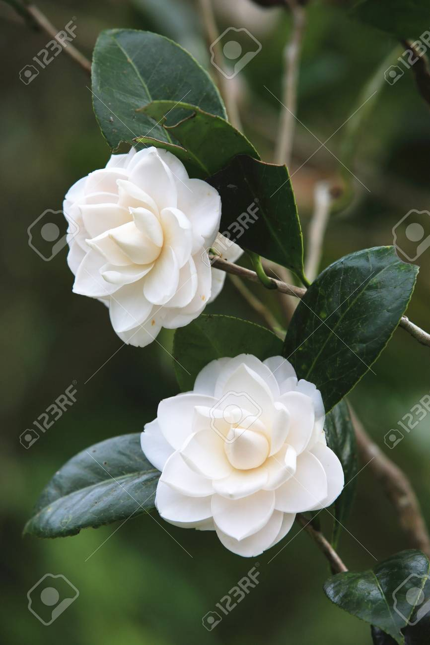 Flores Blancas De La Camelia Hermosas Flores Blancas En Flor En El