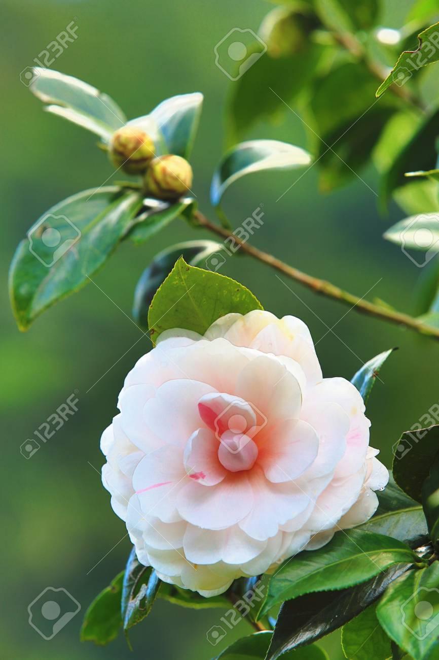 Blanc Avec Fleur De Camelia Rose Belle Fleur Et Boutons Avec Goutte