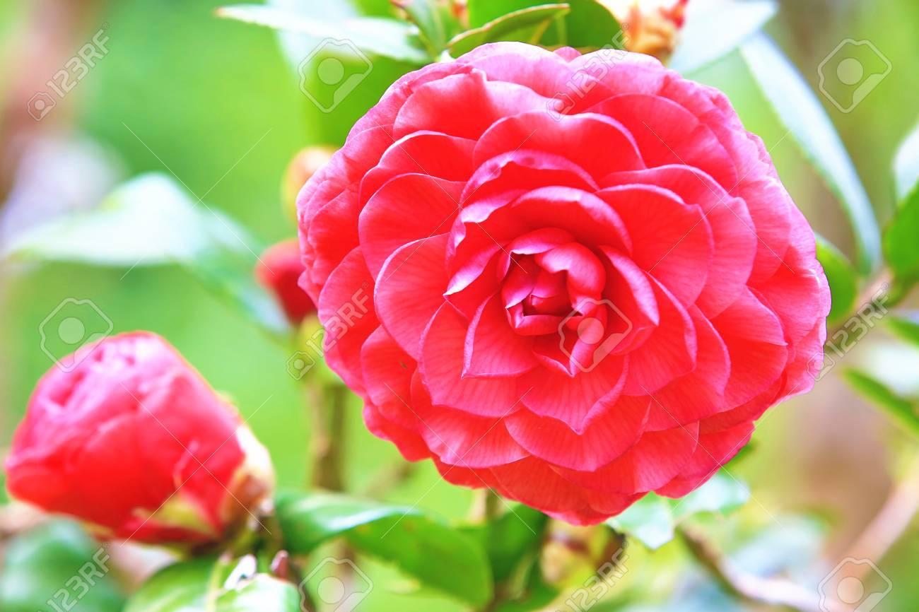 Fleurs De Camelia Rouge Belle Fleur Rouge Et Bourgeons Qui
