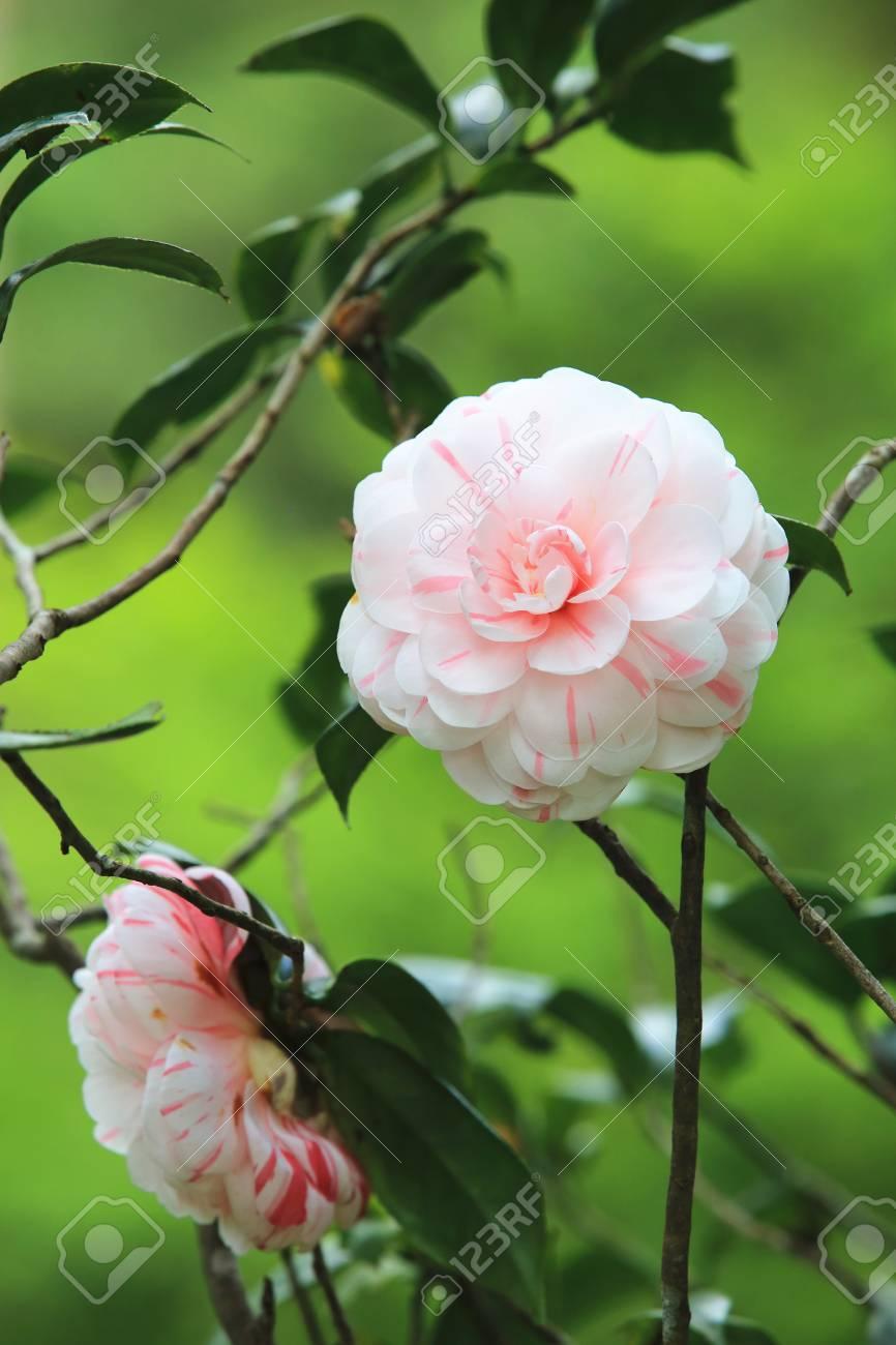 White with pink camellia flowers beautiful white flowers blooming white with pink camellia flowers beautiful white flowers blooming in the garden stock photo mightylinksfo