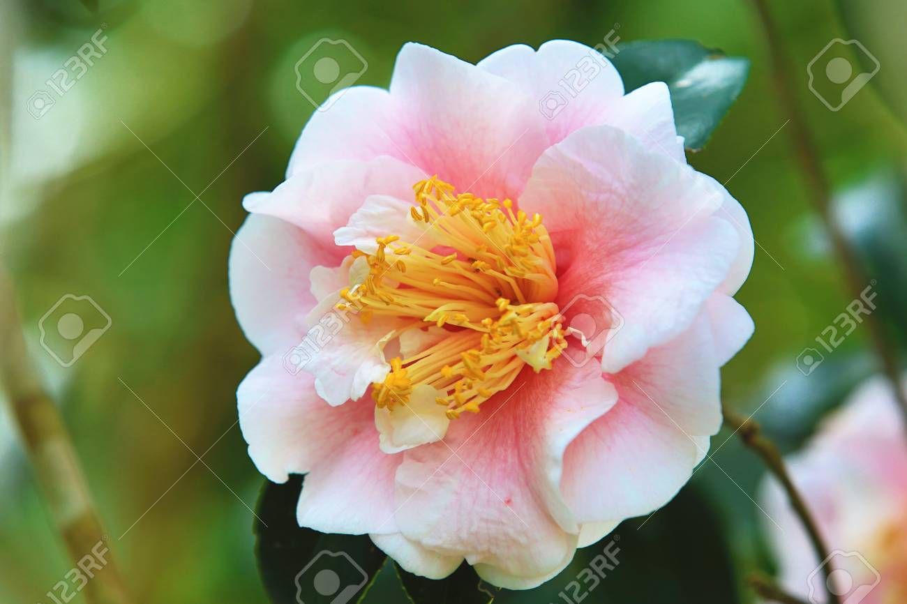 White with pink camellia flower closeup beautiful white flower stock photo white with pink camellia flower closeup beautiful white flower blooming in the garden in spring mightylinksfo