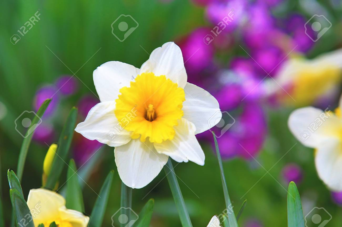 Beautiful Scenery Of Daffodil Flowers White With Yellow Flowers