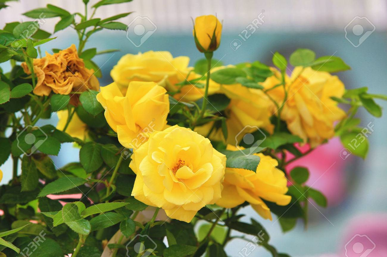 Rosas Amarillas Hermosas Rosas Que Florecen En El Jardín En