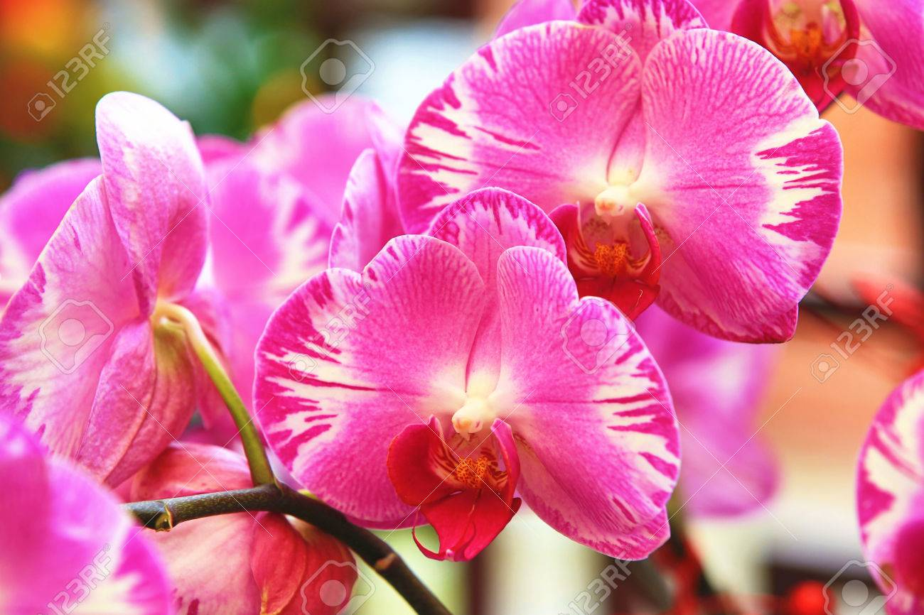 Phalaenopsis Moth Orchid Flowers Beautiful Purple With Yellow