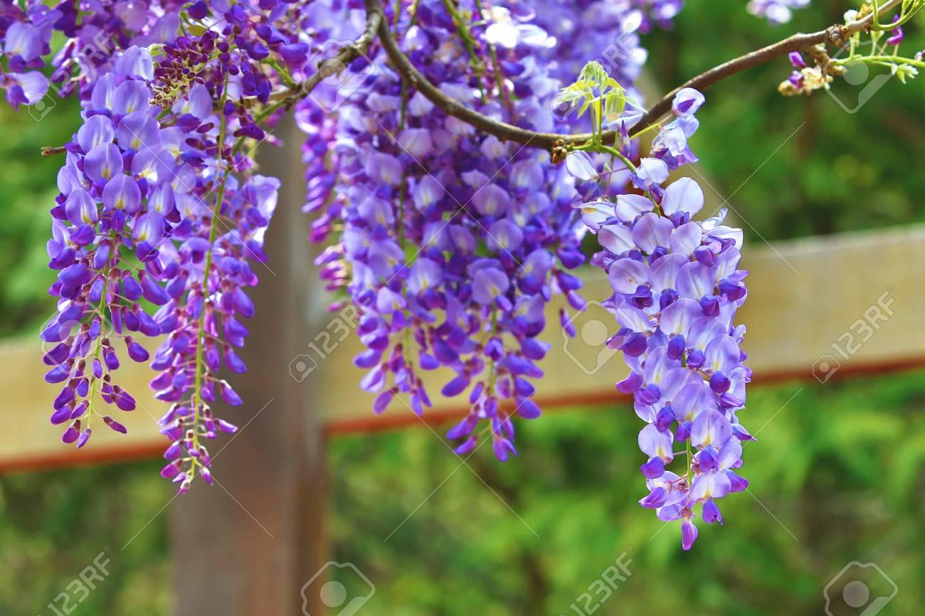 Purple Wisteria Flowers Beautiful Scenery Of Purple With Yellow