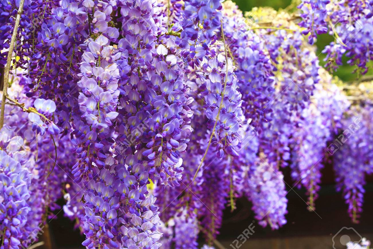 Purple Wisteria Flowers Beautiful Scenery Of Purple With Yellow