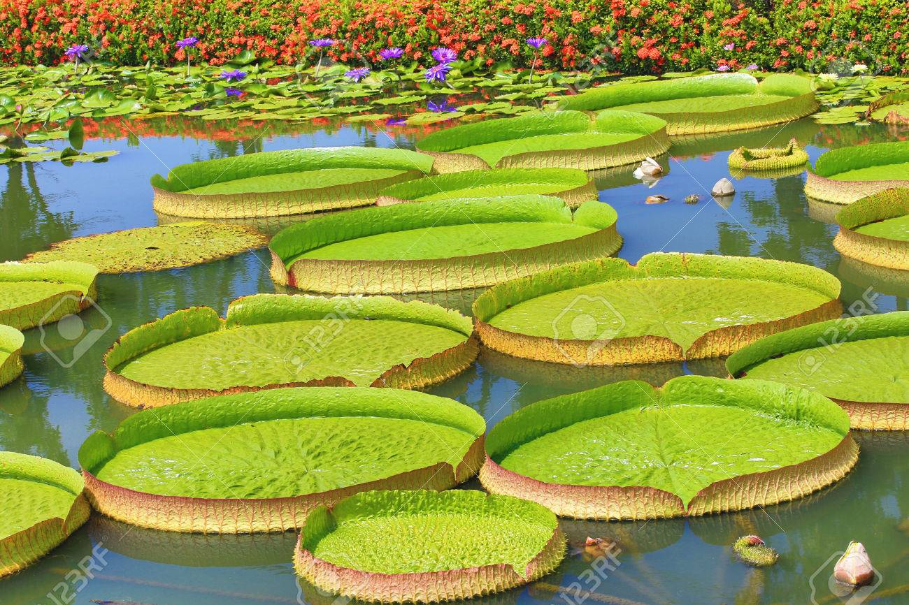 Beautiful scenery images with flowers simplexpict1st beautiful scenery of santa cruz waterlily flowers and leaves stock izmirmasajfo