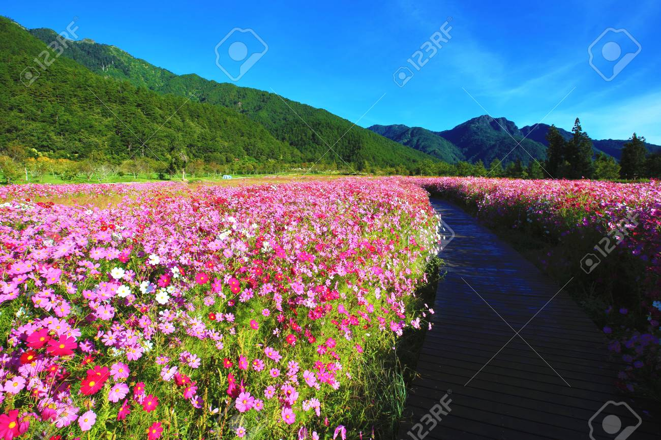 Beautiful Scenery Of Cosmos Flowers With Path Many Pink White