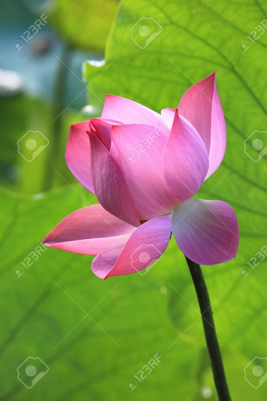 Lotus Flower Beautiful Pink Lotus Flower Blooming In The Pond