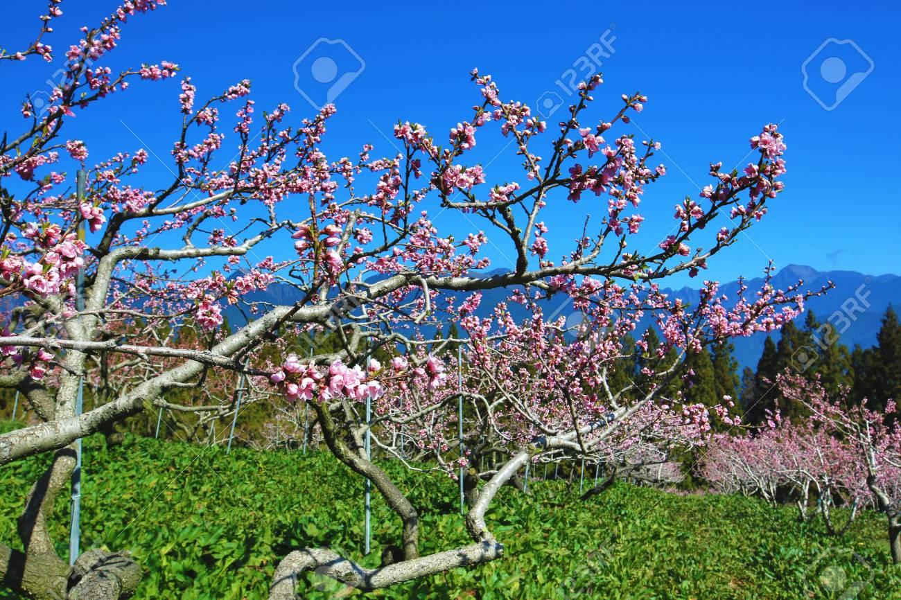 Pink peach flowersbeautiful scenery of pink with red peach trees pink peach flowersbeautiful scenery of pink with red peach trees growing among the mountains izmirmasajfo