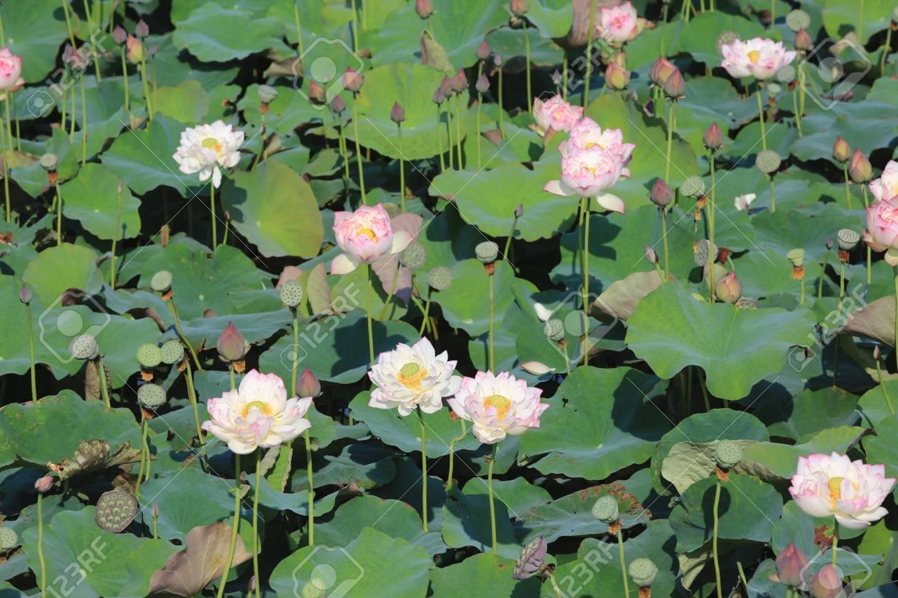 Beautiful Scenery Of Peony Lotus Flowers Lizenzfreie Fotos Bilder