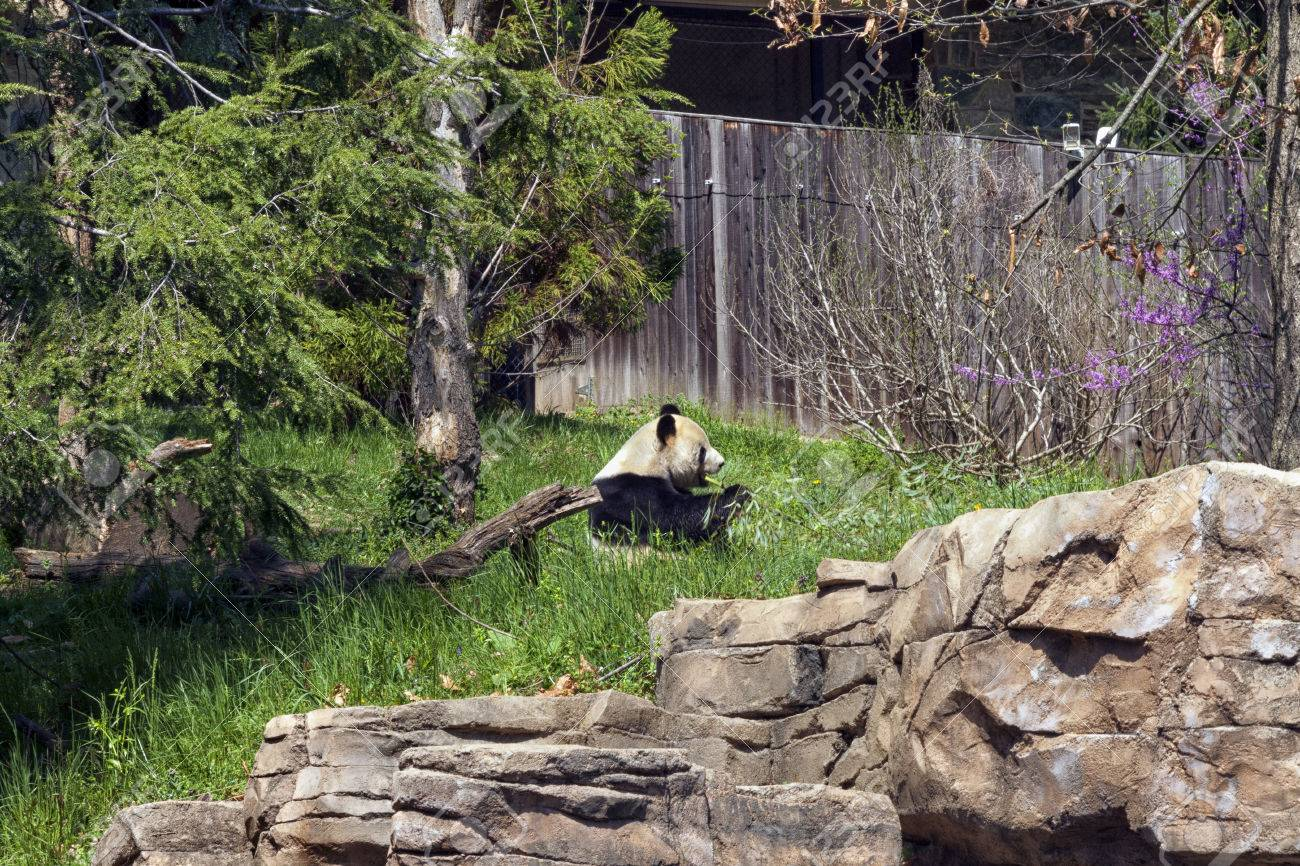 A lone Panda sitting eating a piece of bamboo - 44129944
