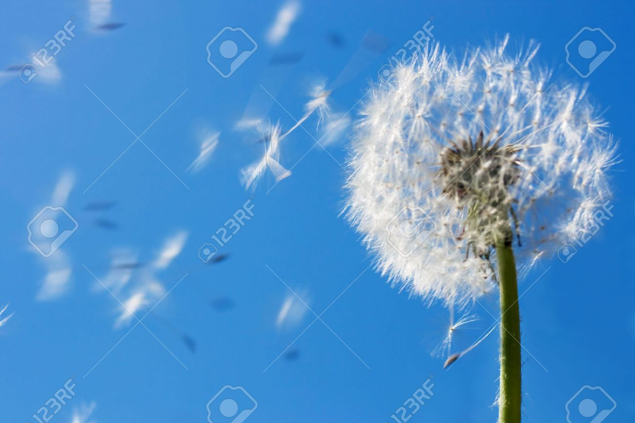 Dandelion seeds flying in the blue sky. Useful for spring themes or serenity, joy, freshness concepts. Space for copy. Stock Photo - 2837390