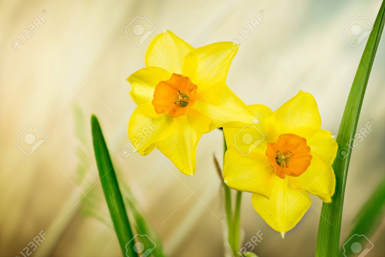 Spring Flowers Daffodil Jonquil Daffodils Narcissus Stock