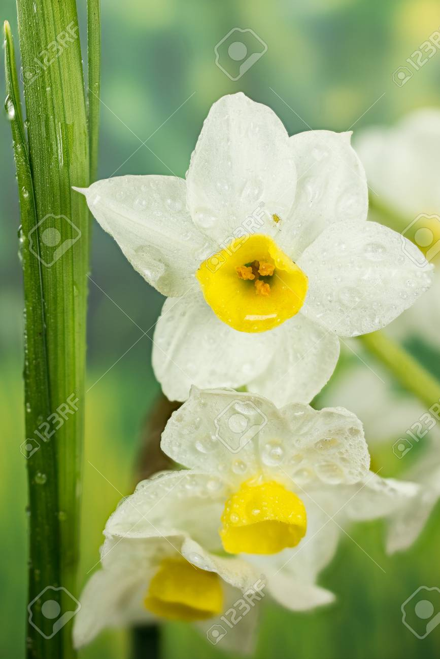 Spring Flowers Daffodil Jonquil Daffodils Narcissus Stock Photo