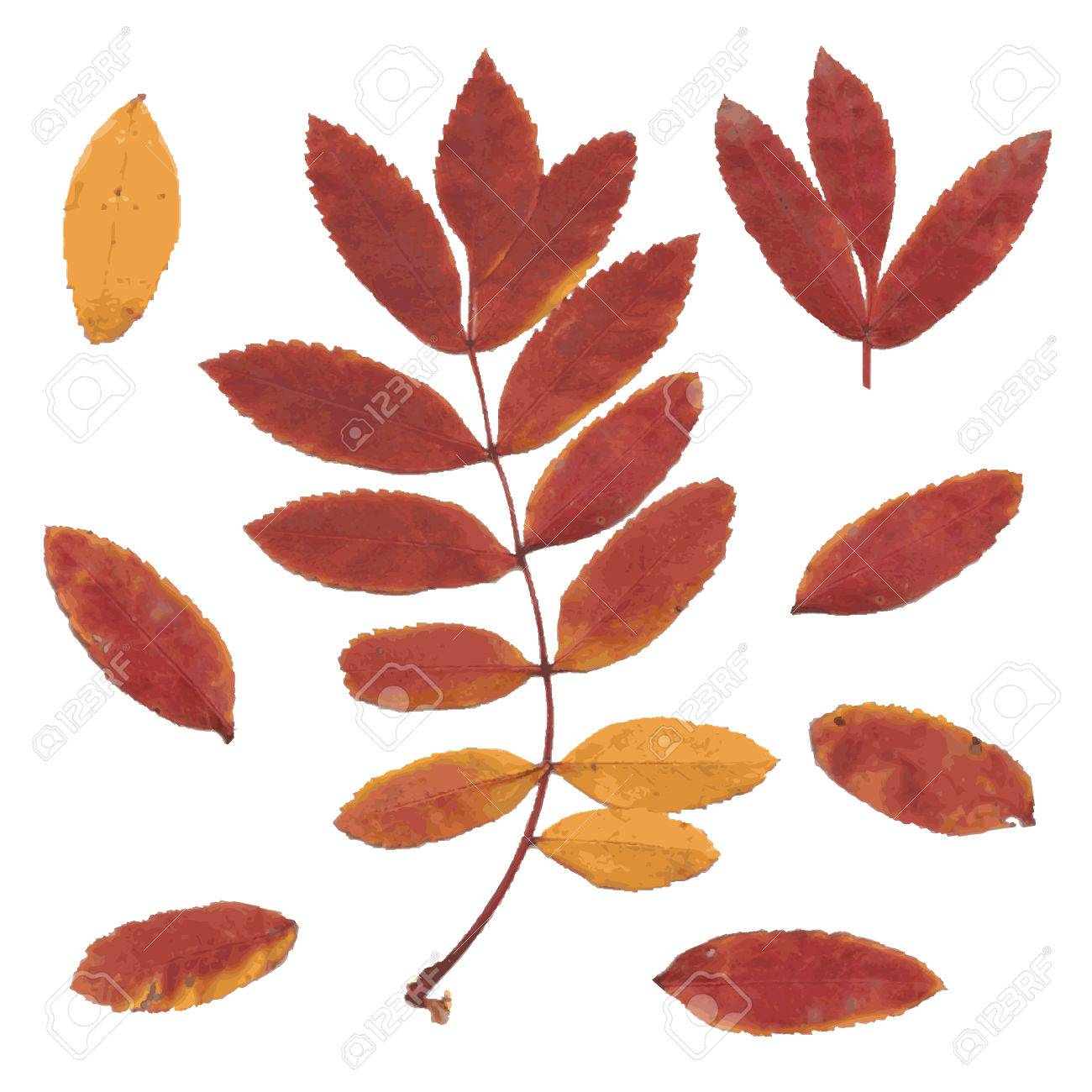 Real autumn rowan leaves, set from red-yellow branch and small leafs, Sorbus aucuparia, vector illustration - 49807661