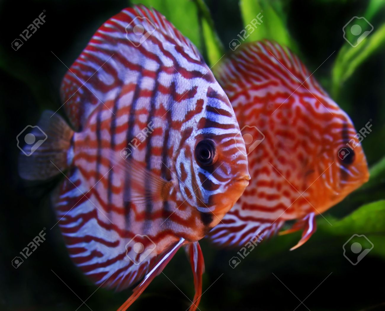 Close Up On Colorful Discus Fish Stock Photo, Picture And Royalty ...