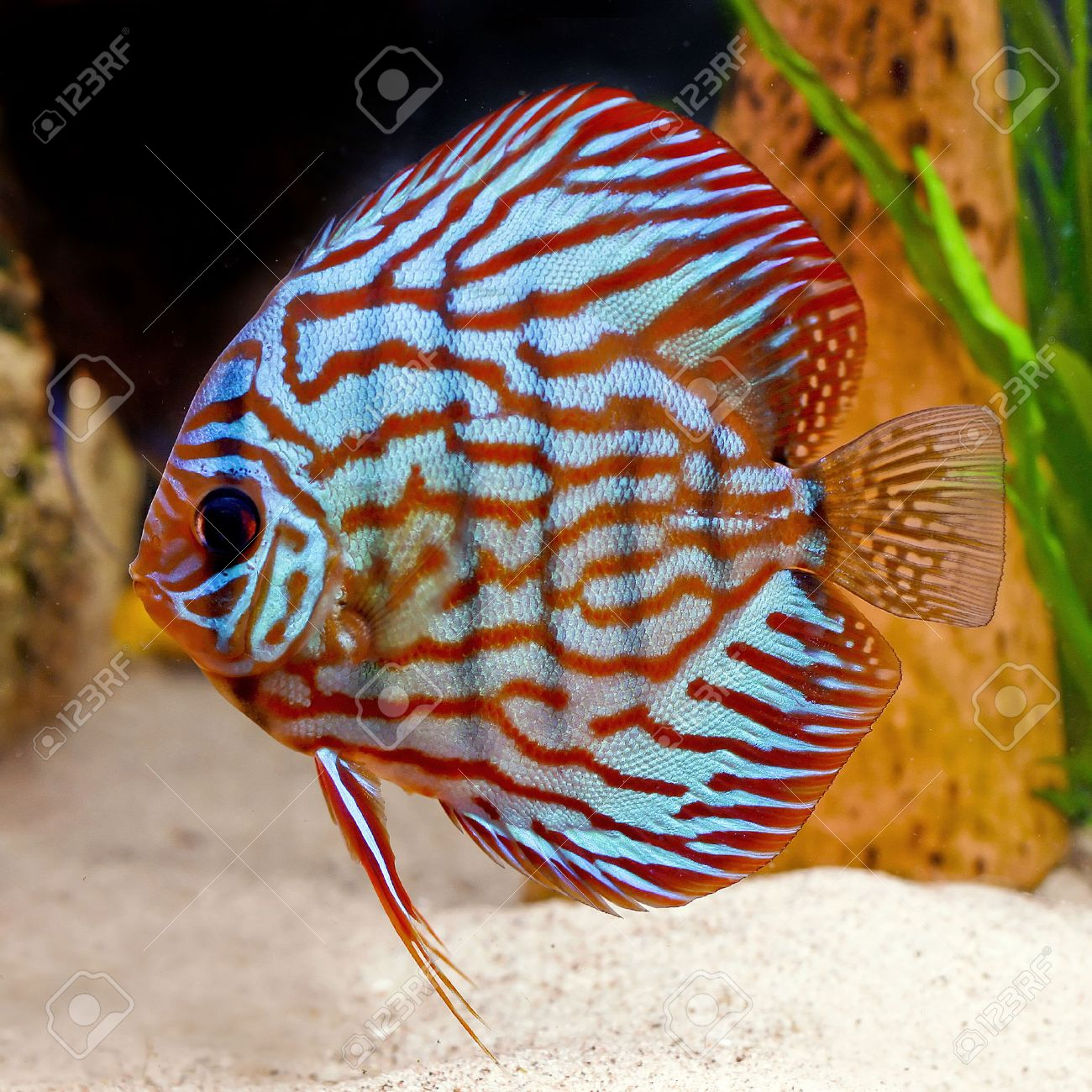 Discus Fish For Sale To Your Door