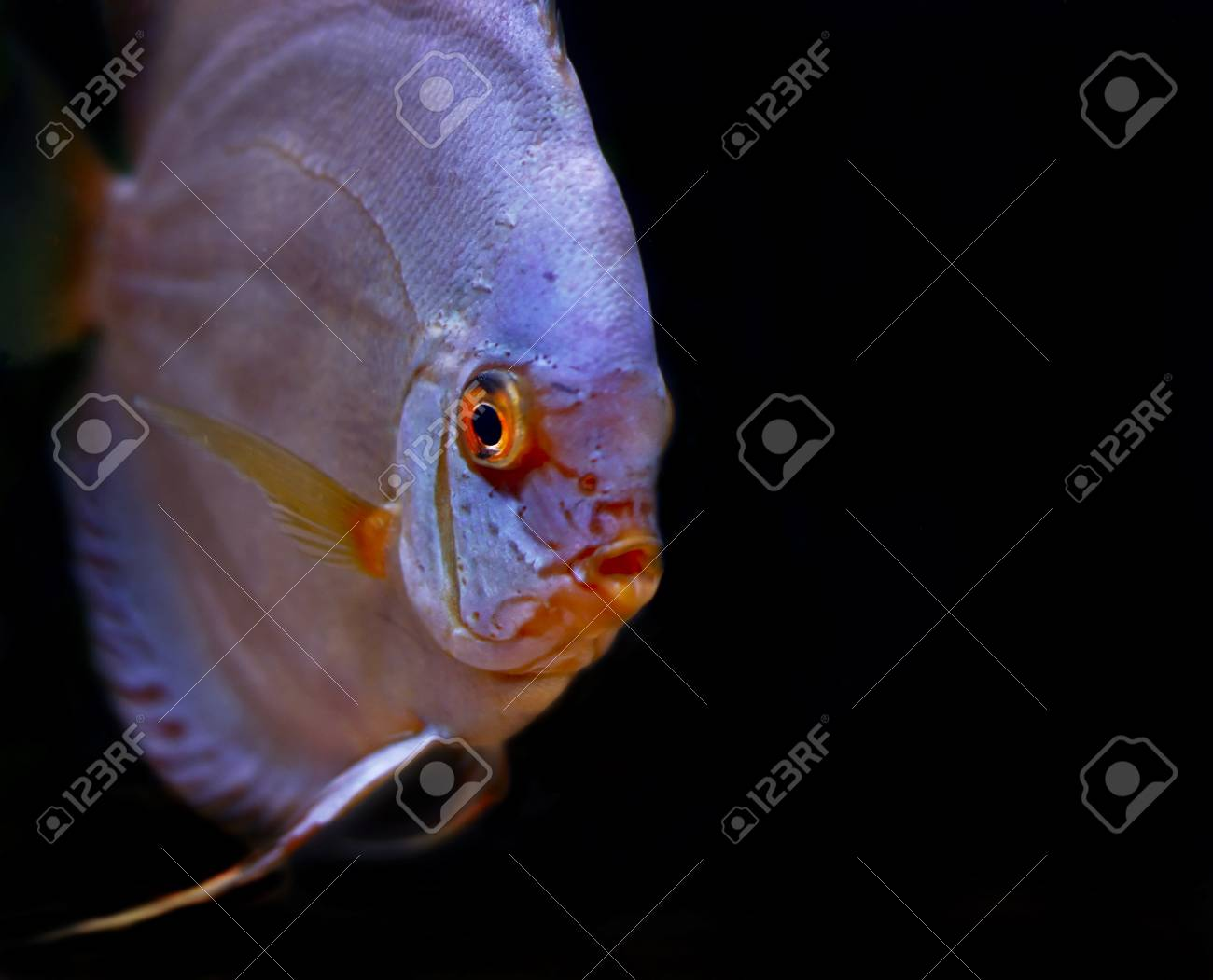 colorful tropical Symphysodon discus fish Stock Photo - 1726376