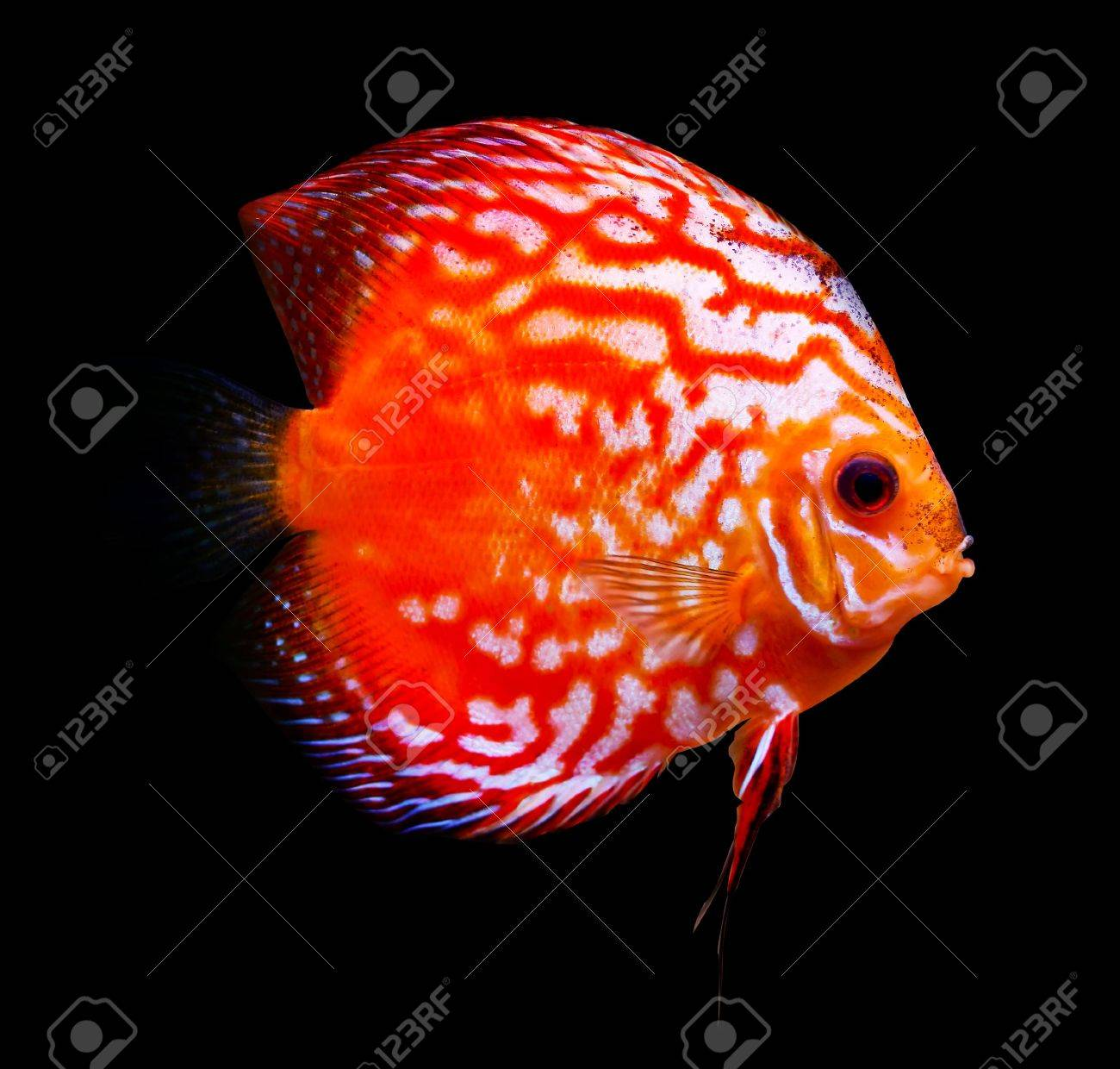 Colorful Tropical Symphysodon Discus Fish Stock Photo, Picture And ...