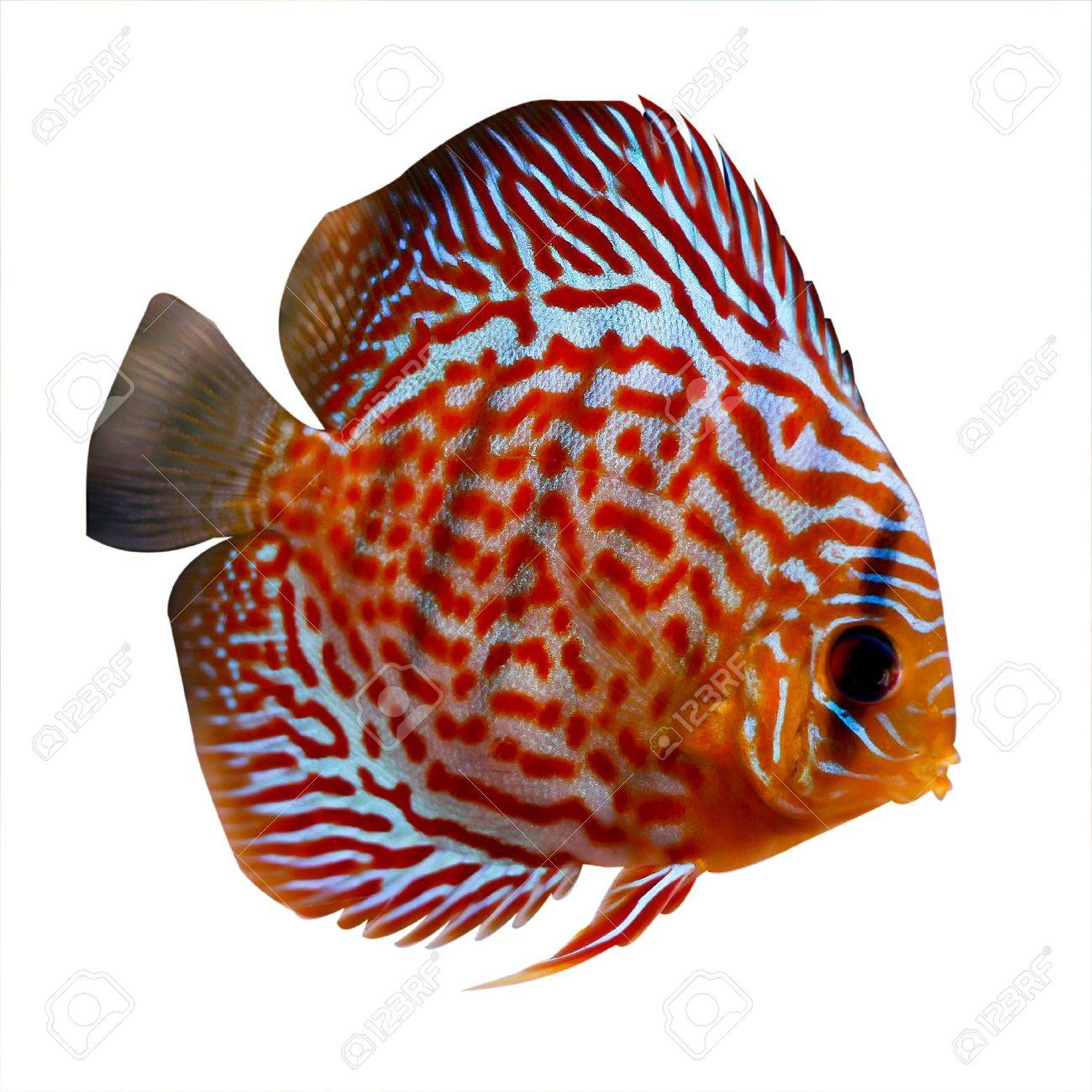 Colorful Tropical Symphysodon Discus Fish On White Background Stock ...