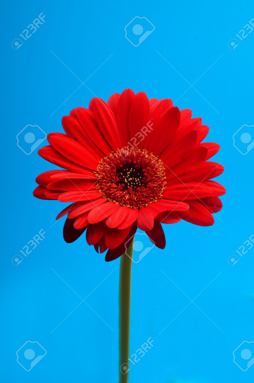 Beautiful Red Gerbera (daisy) Flower On A Blue Background Stock ...