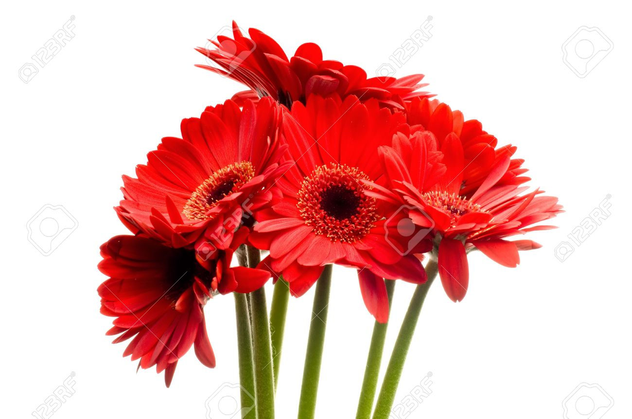 Beautiful Red Gerbera (daisy) Flowers On A White Background Stock ...