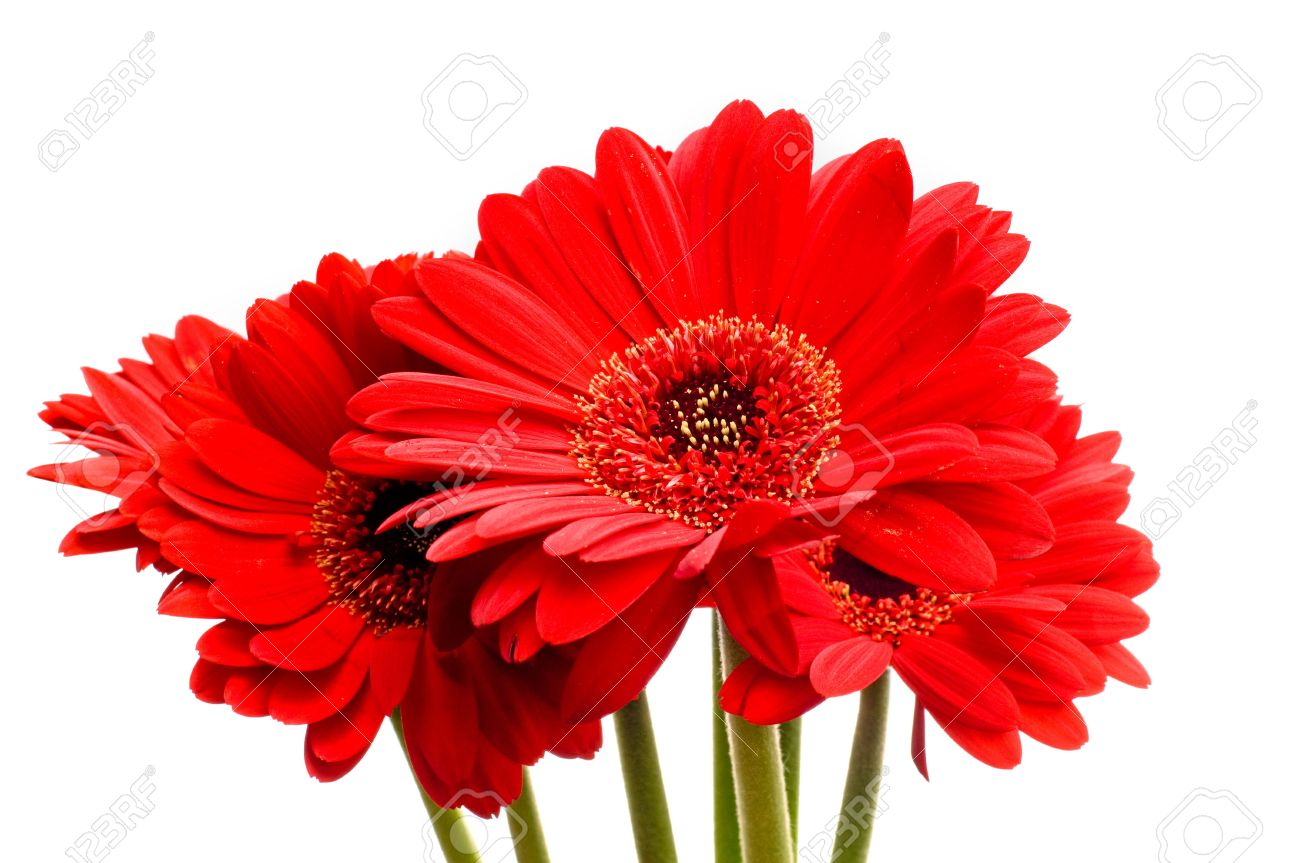Beautiful Red Gerbera Daisy Flowers On A White Background Stock