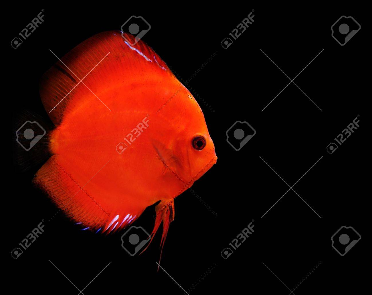 Colorful Tropical Symphysodon Discus Fish On Black Background Stock ...