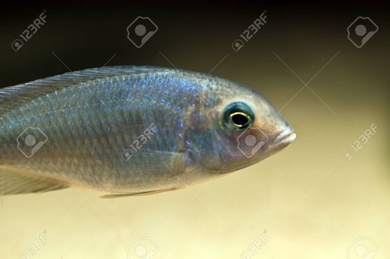 tropical blue cichlid from lake malawi, africa Stock Photo - 3517816