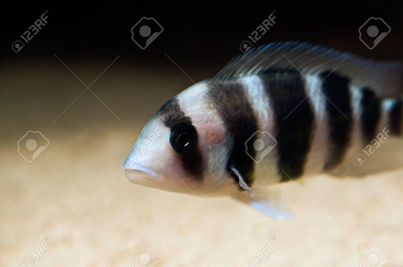 striped cichlid fish of the frontosa spieces Stock Photo - 3550484