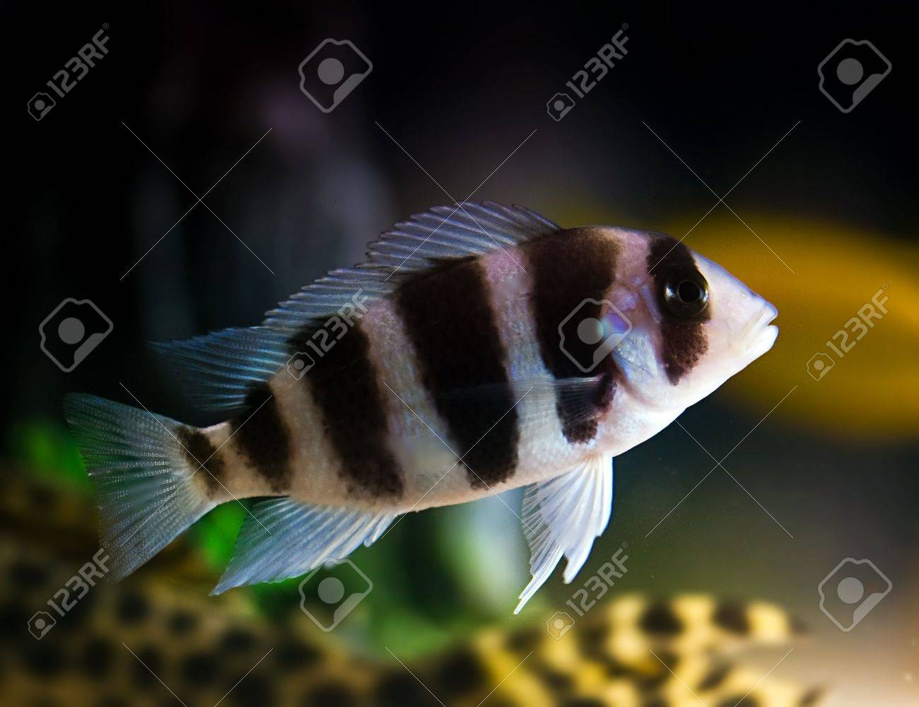 striped cichlid fish of the frontosa spieces Stock Photo - 3561948