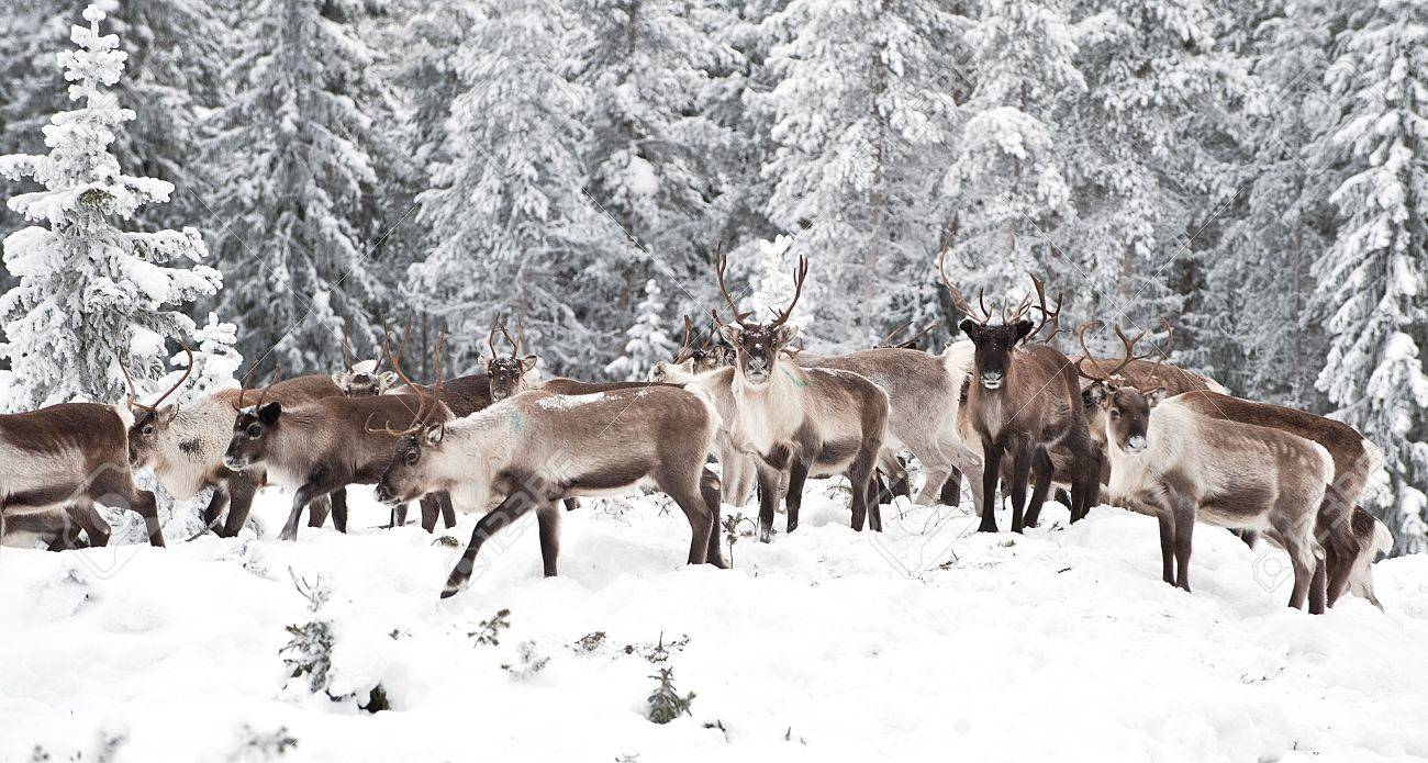 reindeer in its natural environment in scandinavia Stock Photo - 6259841