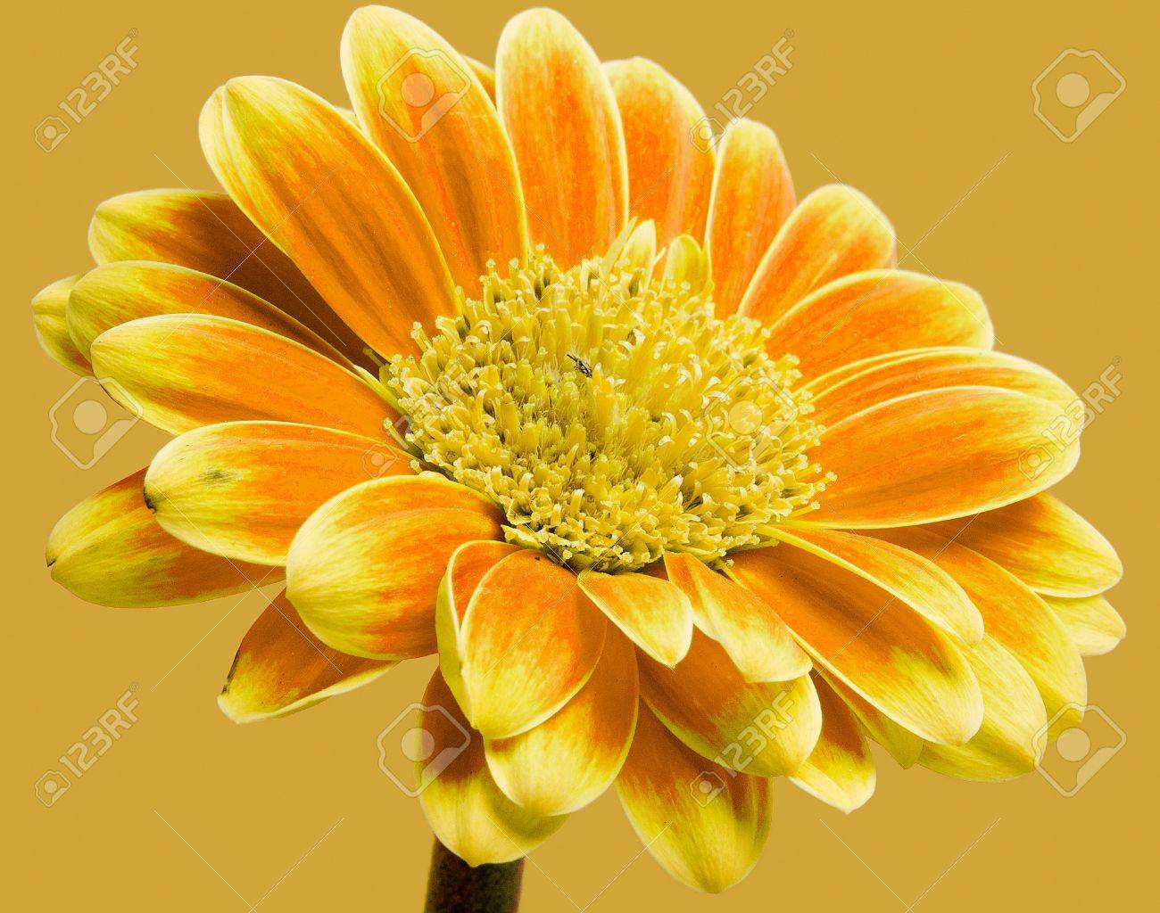 a closeup of a beautiful gerbera flower Stock Photo - 9508365