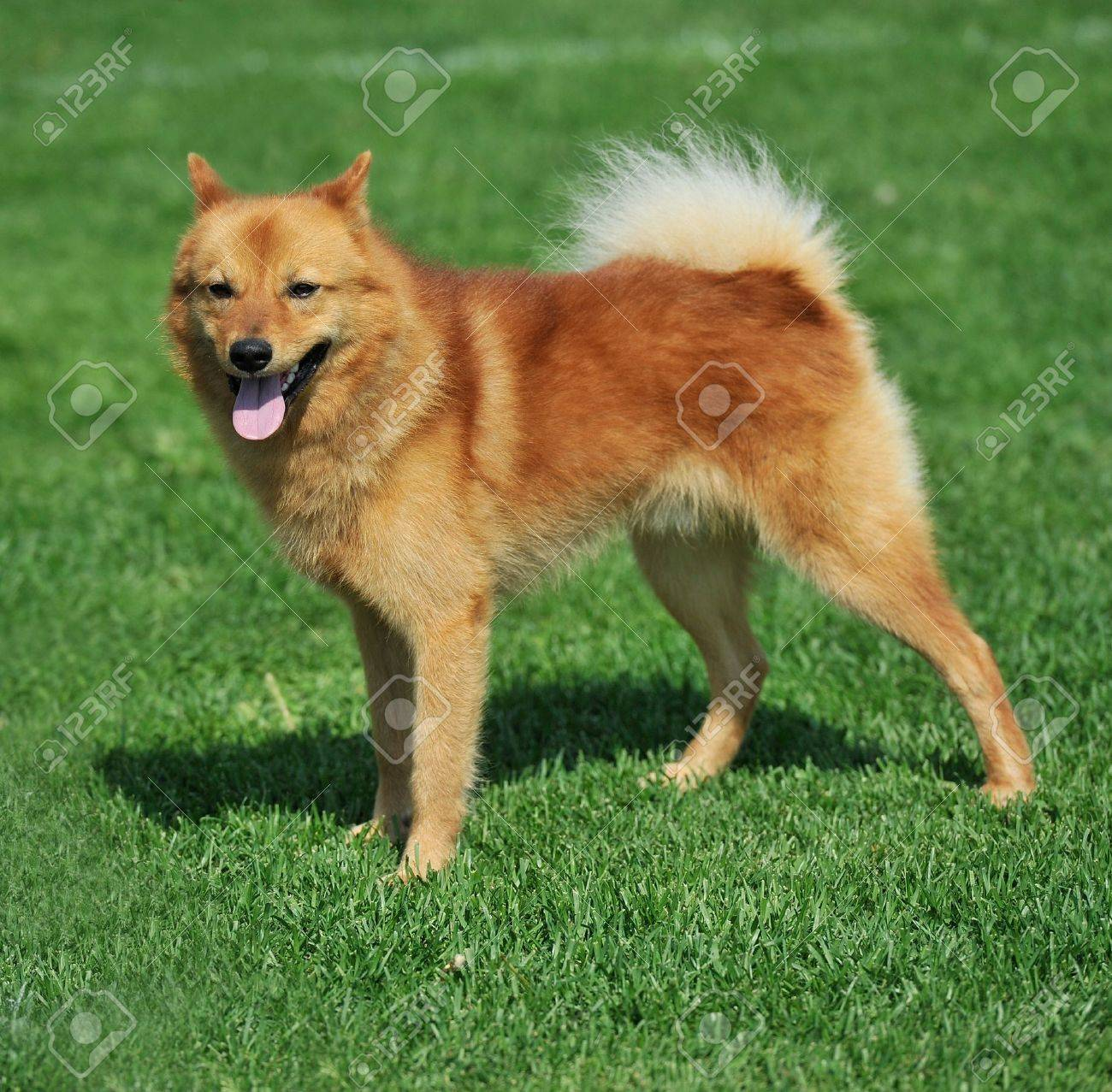 a beautiful specimen of a finnish spitz dog Stock Photo - 9986042